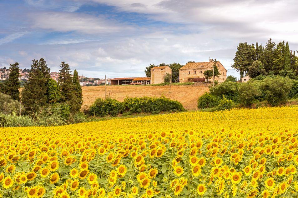 Sonnenblumenfeld in Porto Recanati