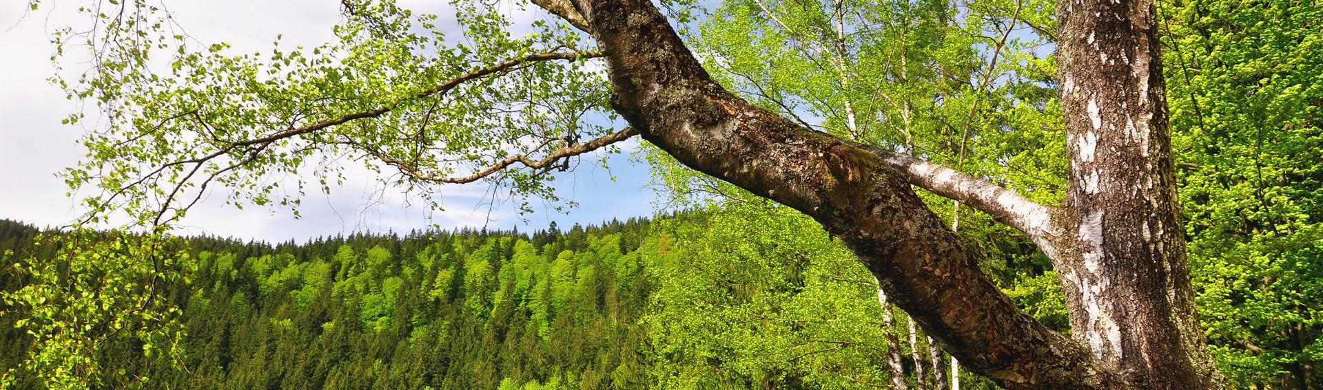 Forêt bavaroise